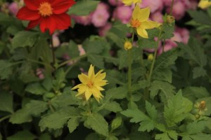 Chestina planted single dahlias such as these Unwin hybrids.