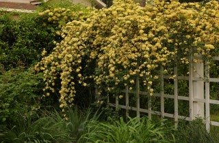 The original Lady Banks rose (Rosa banksiae var. lutea) cascades over the trellis in the restored Welty garden.