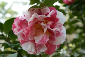 An unidentified Camellia japonica unfurls its peony-shaped blooms in March.