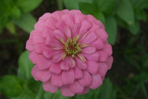 This zinnia variety, Zinnia elegans 'Miss Wilmott,' grows today in the Welty cutflower garden.