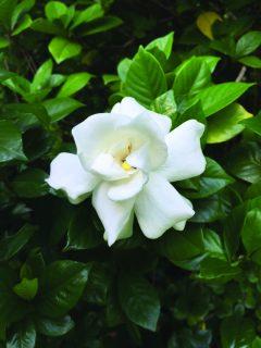 gardenia-photo-copy