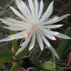 Cereus Bloom 8-30-13 (2)